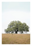 Oak Tree 73 Poster by Alan Blaustein