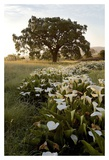 Oak Tree 88 Prints by Alan Blaustein