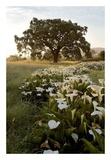 Oak Tree 88 Posters by Alan Blaustein