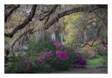 Oaks and Azaleas Prints by H.J. Herrera
