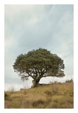 Oak Tree 74 Posters by Alan Blaustein