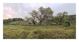 Oak Tree Pano 133 Prints by Alan Blaustein
