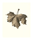 Norway Maple Prints by Alan Blaustein