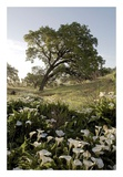 Oak Tree 90 Prints by Alan Blaustein