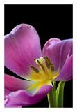 Pink Tulip Art by Amalia Elena Veralli