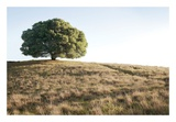 Oak Tree 76 Prints by Alan Blaustein