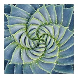Spiral Succulent Poster by Jan Bell