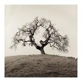 Sonoma Oak #2 Reprodukcje autor Alan Blaustein