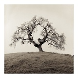 Sonoma Oak 2 Prints by Alan Blaustein