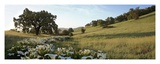 Oak Tree Pano 92 Prints by Alan Blaustein