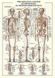 The Skeletal System Print by  Unknown