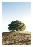 Oak Tree 77 Posters by Alan Blaustein
