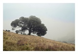 Oak Tree 53 Posters by Alan Blaustein