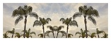 Palm Banner 1 - Color Art by Alan Blaustein