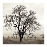 Sonoma Oak 1 Prints by Alan Blaustein