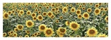 Tuscan Sunflower Pano 1 Prints by Alan Blaustein