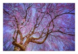 Weeping Cherry Prints by Natalie Mikaels