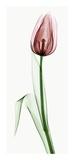 Tulip II Posters by Robert Coop