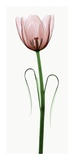 Tulip I Posters by Robert Coop