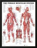 The Female Muscular System Anatomical Chart Poster Posters