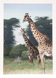 Giraffes of Manyara from the Artist's Africa Portfolio Collectable Print by Dennis Curry