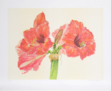 Amaryllis Collectable Print by Carol Ann Bolt