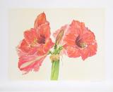 Amaryllis Collectable Print by Carol Ann Bolt