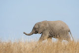 African Elephant (Loxodonta africana) young, walking through dry grass, Tuli Block Photographic Print by Shem Compion