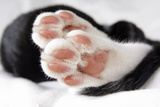 Domestic Cat, black and white kitten, close-up of paws Photographic Print by Angela Hampton