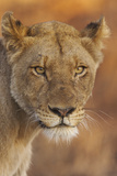 Lion (Panthera leo) adult female, close-up of head at dusk, Kruger , South Africa Photographic Print by Andrew Forsyth