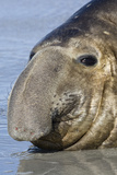 Southern Elephant-seal (Mirounga leonina) bull, close-up of head, laying on shore, Sea Lion Island Photographic Print by Dickie Duckett