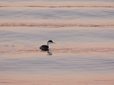 Western Grebe (Aechmophorus occidentalis) adult, swimming at dusk, California, USA Papier Photo par Bob Gibbons