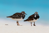 Ruddy Turnstone (Arenaria interpres) two adults, breeding plumage, standing on beach, Bird Island Stampa fotografica di Bob Langrish