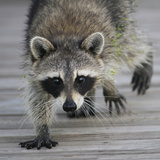 Common Raccoon (Procyon lotor) adult, walking on boardwalk in swamp, Florida, USA Photographic Print by Edward Myles