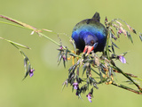 Purple Gallinule (Porphyrio martinicus) adult, feeding on Fireflag (Thalia geniculata) flowerbuds Photographic Print by Edward Myles