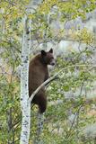 American Black Bear (Ursus americanus) cinnamon form, adult, Grand Teton Photographic Print by Bill Coster