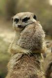 Meerkat (Suricata suricatta) adult pair, hugging (captive) Fotografisk tryk af Jurgen & Christine Sohns