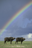 Rainbow over african buffalo Amboseli national park Kenya Photographic Print by Edward Myles