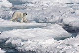 Polar Bear (Ursus maritimus) adult, walking on melting icefloe, Baffin Bay, North Atlantic Ocean Photographic Print by Martin Hale