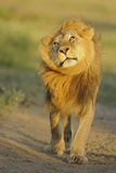 Lion (Panthera leo) adult male, shaking flies from head and mane in morning sunlight, Tanzania Photographic Print by Winfried Wisniewski