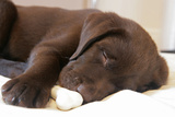 Domestic Dog, Chocolate Labrador Retriever, male puppy, sleeping Photographic Print by Chris Brignell