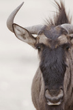 Blue Wildebeest (Connochaetus taurinus) adult, close-up of head, Kalahari, South Africa Photographic Print by Andrew Forsyth