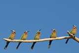 White-fronted Bee-eater (Merops bullockoides) five adults, watching insect fly pass, Tuli Block Reproduction photographique par Shem Compion
