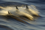 Long-beaked Common Dolphin (Delphinus capenisis) adults, porpoising, Sea of Cortez Photographic Print by Malcolm Schuyl