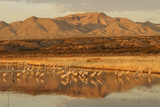 Sandhill Crane (Grus canadensis) flock, standing in wetland habitat, Bosque del Apache, New Mexico Reprodukcja zdjęcia autor Winfried Wisniewski