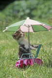Domestic Cat, white and tabby kitten, on miniature sun lounger under umbrella in garden Photographic Print by Angela Hampton