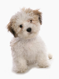 Domestic Dog, Shichon (Shih Tzu x Bichon Frise) designer crossbreed, puppy, sitting Photographic Print by Chris Brignell