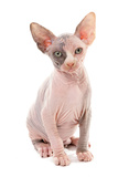 Domestic Cat, Sphynx, kitten, sitting Photographic Print by Chris Brignell