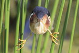 Least Bittern (Ixobrychus exilis) adult male, clinging to stems, Florida, USA Reproduction photographique par Edward Myles