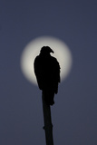Turkey Vulture (Cathartes aura) silhouetted at dawn, with moon in background, Florida, USA Reproduction photographique par Edward Myles